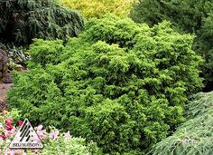 """Iseli Nursery: """"Where the Beauty of Nature Meets the Artistry of Man""""® The home of 12 Months of Color®, Living Art®, Dwarf Conifers and Jack Frost® Maples. Evergreen Garden, Evergreen Trees, Trees And Shrubs, Serenity, Seeds, Dwarf, Landscape, Landscaping Ideas, World"""