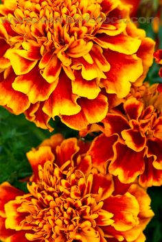 """Marigold: The symbolic meaning of marigolds is indicated in the name: Mary's Gold. Marigold flowers were """"golden gifts"""" offered to the Virgin Mary by the poor who could not afford to give actual gold."""