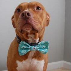 Duke is modeling our Quatrefoil Bow Tie and looking mighty handsome. You can attach this to any collar with the elastic bands on the back. It's an easy way to dress up for any occasion. http://ift.tt/1oeGatq #dogparkpublishing #dogbowtie #bowtie #bowties #doggiestyle #dog #dogsofinstagram #dogsofinsta #doggy #dogsofig #dogs #dogstagram #dogsarefamily #dogsarethebest #dogsareawesome #dogsarelife #doggie #doggylove by dogparkpublishing
