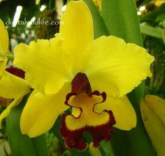 Orchid Potinara Carmela | Lc. Brierleys Ferry X Tokyo Magic