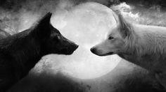 Fekete fehér farkas háttérkép képeslap
