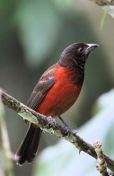 Ramphocelus dimidiatus - Crimson-backed Tanager (female) - El Valle de Antón, Panama