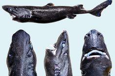I ricercatori hanno scoperto una nuova specie di squalo appartenente alla…