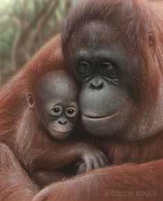 Snuggled - Orangutan Mother & Baby, Hand Signed Art Print by Collin Bogle – Collin Bogle Nature Art