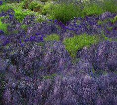 #Lavender Fields painting by Michele Avanti #flowers