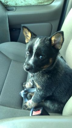 """""""I'm flattered by your confidence in me but I can't actually drive this car.""""   Australian Cattle Dog Puppy"""