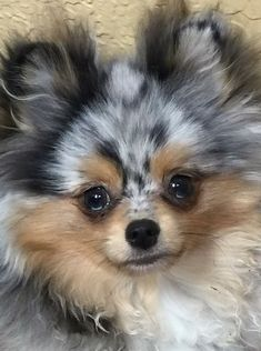 Pomeranians Dogs Such a beautiful Merle Pomeranian - You'll love these cute puppy pictures. Merle Pomeranian, Cute Pomeranian, Cute Puppies, Cute Dogs, Dogs And Puppies, Doggies, Collie Puppies, Chihuahua Puppies, Cute Baby Animals