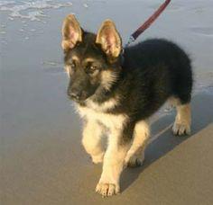Love my German Shepherd!