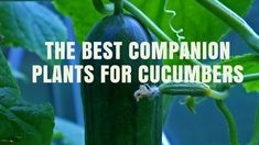 Do you have trouble with growing great cucumbers organically? Learn about which crops make great cucumber companion plants and which ones should be kept far away in the garden.