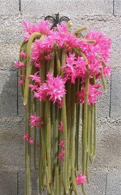 Disocactus flagelliformis (Rat Tail Cactus)... | Wallace Gardens
