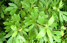 13 Medicinal Benefits Of Sassafras Essential Oil [GUIDE]: http://j.mp/2gF92Vh
