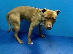 TO BE DESTROYED 5/26/13 Brooklyn Center HUSKY A0964985 Male brown/white pit mix 10 MOS He's the picture of heartbreak ever since his family dropped him off at a hi-kill shelter Husky loves people & craves human touch. Humans are going to come tomorrow & he's going to get all excited & they're going to take him in the back to kill him. With a great SAFER PLS advocate for him now https://www.facebook.com/photo.php?fbid=609720669040816=a.611290788883804.1073741851.152876678058553=3