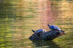 Last #sunbath this season - #Turtles in Herastrau #Park