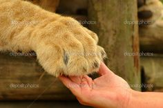 lion+foot   white hand of a Caucasian woman and a big beautiful African lion paw ...