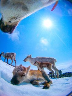 What happens when you give a reindeer a camera: This calf is no more than a few hours old. It was photographed by its own mother.