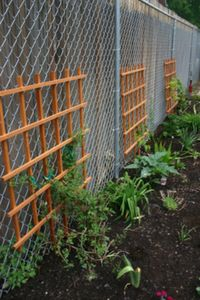 Tips for covering a chain link fence with vines. Note to self: make sure vines are OK for chickens.