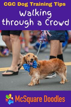 Navigating your dog safely through a crowd is a critical skill for therapy dogs and any dog who wants to pass the Canine Good Citizen Test. Finding crowds for practicing this skill, though, can be tough. Here are the lessons I've learned about finding the right size crowd at the right time, and the strategies I've adopted to keep my dog safe. Therapy Dog Training, Dog Training Books, Therapy Dogs, Dog Training Tips, Dog Status, Positive Dog Training, Good Citizen, Foster Dog, New Puppy