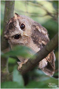 Indian Scops Owl -
