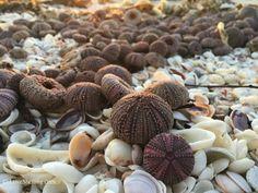 Sea urchins by the hundreds on Sanibel Island, Florida