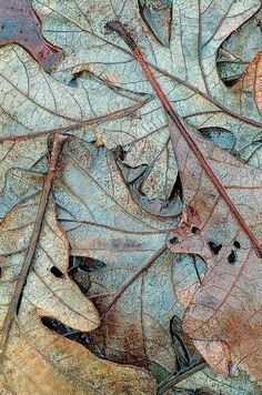 Wet Coppers and Greens Wet Coppers and Greens Wall Art, Canvas Prints, Framed Prints, Wall Peels Soft Autumn, Autumn Leaves, Oak Leaves, Blue Leaves, Fallen Leaves, Autumnal, Plant Leaves, Patterns In Nature, Textures Patterns