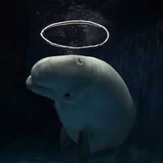 A Beluga whale has become a sensation at an aquarium after learning how to blow halo-shaped bubbles