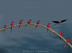 Southern carmine bee eaters, Luangwa Valley, Zambia