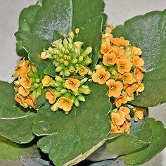 Succulents: Kalanchoe