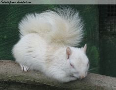 My Grandmother and I used to hand feed a family of white squirrels many years ago in Pensacola. How magical they are.