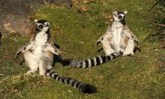 Billy and Taffy, Whipsnade Zoo's ring-tailed lemur twins, sun themselves during a photcall to celebrate their 25th b-day. Billy and Taffy are thought to be the oldest lemur twins in the world.