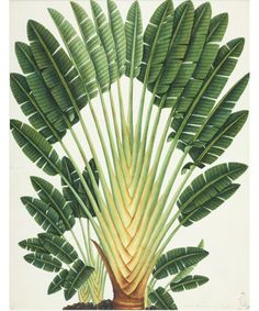about Palm tree POSTER.School Home Room Art decoration, . Details about Palm tree POSTER.School Home Room Art decoration, Details about Palm tree POSTER.School Home Room Art decoration, Lemon Grass Illustration Botanique, Tree Illustration, Botanical Illustration, Illustrations, Botanical Drawings, Botanical Prints, Vegetal Concept, Impressions Botaniques, Travellers Palm