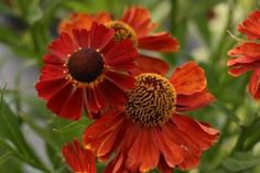 SALE 8 Helenium Red Shades autumn Flowering Hardy tall perennial Plant