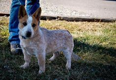 corgi red heeler mix - Google Search
