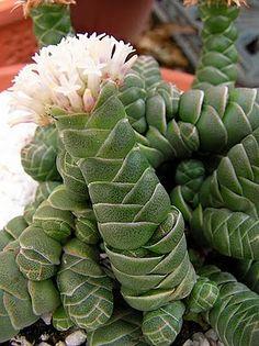 cactus flower and coconut Succulents In Containers, Cacti And Succulents, Planting Succulents, Cactus Plants, Planting Flowers, Crassula Succulent, Succulent Gardening, Succulent Ideas, Echeveria