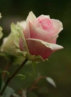 blooms-and-shrooms:I love Roses by pe_ha45 on Flickr.