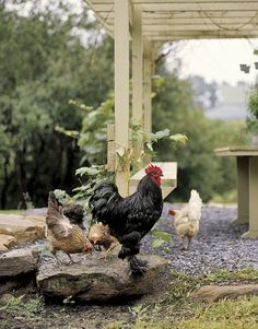 """Hen        Scenes from daily farm life inspire the artist: """"King"""" Louis struts among the Araucana hens"""