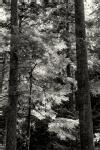 Evergreen Backlit Forest B&W