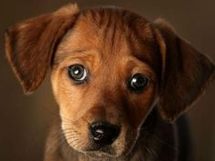 46 Best Puppy Dog Eyes Images Dog Cat Pets Cute Dogs