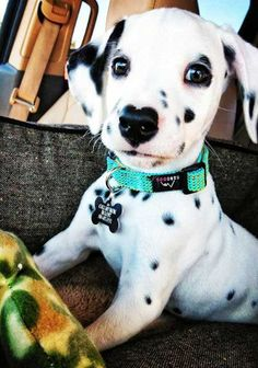 Adorably Cute Puppy Pictures to Make you Smile! Dalmatian Puppy doing a push up. Dalmatian Puppy doing a push up. Cute Dogs And Puppies, Baby Dogs, I Love Dogs, Doggies, Kittens And Puppies, Cute Baby Animals, Animals And Pets, Funny Animals, Easy Animals