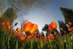 This picture is similar to my other worms eye picture because it is looking up towards those tulips as my other picture looks up towards the staircase