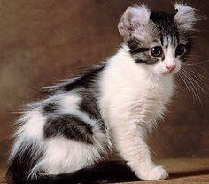 Cat Coat Genetics   American Curl cat picture