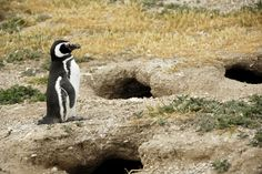 Magellanic penguins: Magellanic penguins return to the same burrows year after year in Argentina, Chile and the Falkland Islands, leaving in the winter. The female lays two eggs, on a nest in the burrow, and both parents take turns incubating them. (Credit: © Julie Larsen Maher, WCS.)