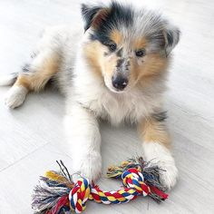 Desirée 🐶 #puppylove #roughcollie #bluemerle #kolia