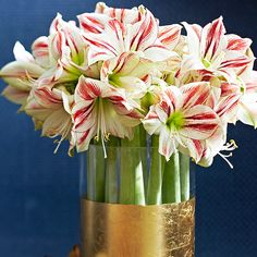 For a stunning centerpiece, gather amaryllis in a cut-flower arrangement. Clip stems evenly across when the first buds are preparing to open. Rest the stems at the base of a sturdy water-filled vase, and change the water every few days to keep flowers blooming up to 10 days.