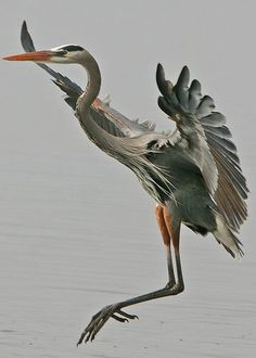 Caught this great blue heron coming in for a landing. Taken in Myakka River State Park, Florida. All Birds, Love Birds, Beautiful Birds, Animals Beautiful, Exotic Birds, Colorful Birds, Vogel Illustration, Animals And Pets, Cute Animals