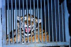 Tiger Cub's Death Leap Exposes Black Market Breeding Ring | TakePart