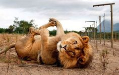 13 Reminders That Big Cats Are Basically House Cats Only, you know, deadlier.