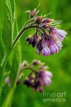 Title  Striped Comfrey - Wildflower   Artist  Henry Kowalski   Medium  Photograph -