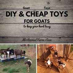 Goat toys are a fun and easy way to keep your goats happy and busy during the day. Here are some DIY & Cheap ideas to make toys for goats. Keeping Goats, Raising Goats, Diy Goat Toys, Pigmy Goats, Goat Fence, Small Goat, Small Farm, Goat Playground, Goat Shelter