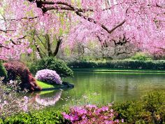 Sakura cherry blossom tree, Japan