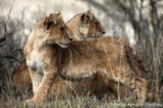 Study: West African Lion Threatened with Extinction